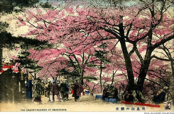 飛鳥山の桜花
