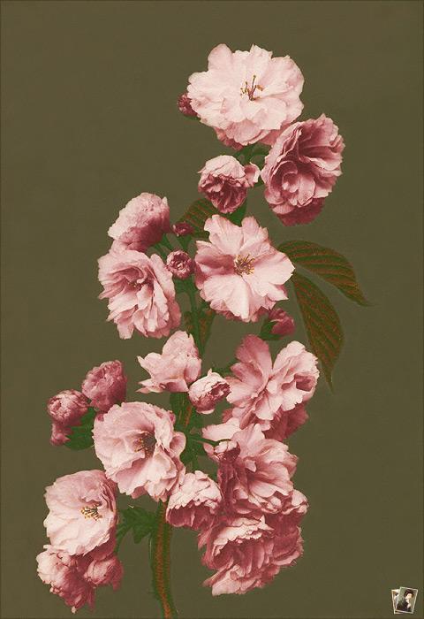 Camelia Flowers